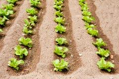 Collectes de salade dans le jardin image libre de droits