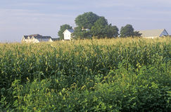Collectes mûres de maïs images libres de droits