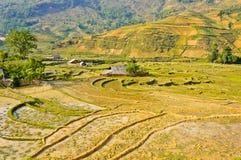 Collectes vietnamiennes de riz photo libre de droits