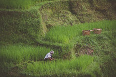 Collecteur de riz sur des terrasses de riz dans Ubud, Bali Photo stock