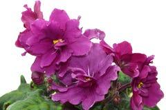 Collectible African violet `EK-Elena` Royalty Free Stock Image