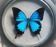 Papilio Ulysses. Collectible butterfly Papilio Ulysses of blue color stock photo