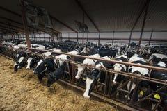 Collectieve de Melkveehouderijkoeien van Wisconsin Royalty-vrije Stock Afbeeldingen