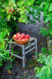 Collecting apples in a garden stock images