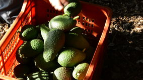Collecting avocados fruit stock video footage