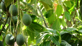 Collecting avocados fruit stock footage