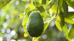 Collecting avocados fruit stock video