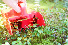 Collecting berries in forest with comb picker Royalty Free Stock Photography
