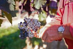 Collecting the best wine grapes Royalty Free Stock Photos