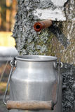 Collecting birch juice Royalty Free Stock Photo