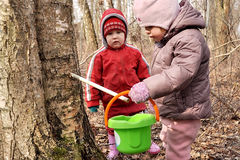 Collecting birch sap Royalty Free Stock Image