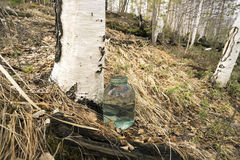 Collecting birch sap Royalty Free Stock Images