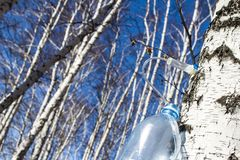 Collecting birch SAP in early spring in a plastic pet bottle, with a blurred background. Collecting birch SAP in early spring in a plastic pet bottle, with a royalty free stock photos