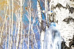 Collecting birch SAP in early spring in a plastic pet bottle, with a blurred background. Collecting birch SAP in early spring in a plastic pet bottle, with a stock photos