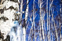 Collecting birch SAP in early spring in a plastic pet bottle, with a blurred background. Collecting birch SAP in early spring in a plastic pet bottle, with a stock photo
