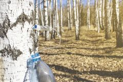 Collecting birch SAP in early spring in a plastic pet bottle, with a blurred background. Collecting birch SAP in early spring in a plastic pet bottle, with a stock photography
