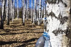Collecting birch SAP in early spring in a plastic pet bottle, with a blurred background. Collecting birch SAP in early spring in a plastic pet bottle, with a stock image