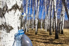 Collecting birch SAP in early spring in a plastic pet bottle, with a blurred background. Collecting birch SAP in earlpring in a plastic pet bottle, with a royalty free stock image