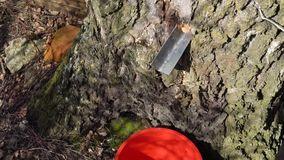 Collecting birch tree sap early spring slow motion video.  stock video footage
