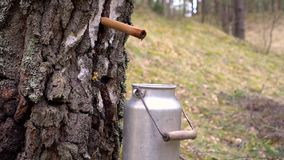 Collecting birch tree sap stock video footage