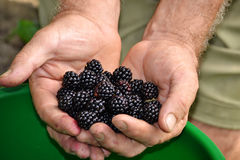 Collecting black berries Royalty Free Stock Image
