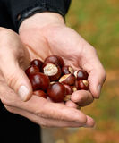 Collecting chestnuts in autumn. Man holds a few dozen chestnuts in his hand Stock Photo