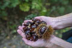 Collecting chestnuts stock photos
