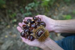 Collecting edible chestnuts royalty free stock photo