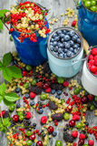Collecting fresh wild berries Stock Photography
