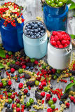 Collecting fresh wild berries Royalty Free Stock Photo