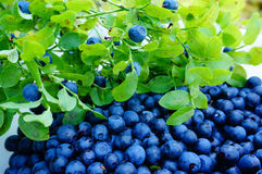 Collecting fresh wild blueberries in forest Royalty Free Stock Image