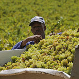 Collecting grapes South Africa Stock Photography