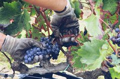 collecting grapes Royalty Free Stock Photography