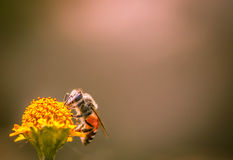 Collecting honey. A small honey bee is seen collecting honey from a flower Stock Photography