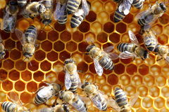 Collecting honey Royalty Free Stock Photography