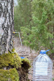 Collecting juice from birch tree Royalty Free Stock Photo