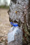 Collecting juice from birch tree Royalty Free Stock Photography