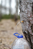 Collecting juice from birch tree Stock Photography