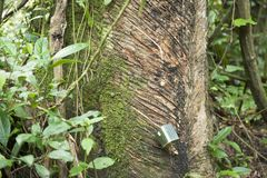Collecting latex from rubber tree - caoutschouc Stock Photography