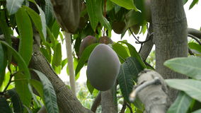 Collecting a mango tropical fruit hanging at branch of tree with a pole. Harvest of mango tropical fruit in a agricultural plantation a sunny day stock footage
