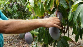Collecting mango tropical fruit of a tree stock video