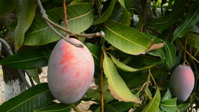Collecting mango tropical fruit of a tree stock footage