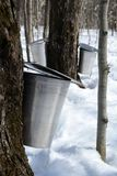 Collecting maple sap. Spring, maple syrup season. Pails on trees collect sap of maple trees to produce maple syrup royalty free stock photography