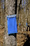 Collecting maple sap. Blue bags hangs from maple trees as they collect sap in the spring Stock Photos