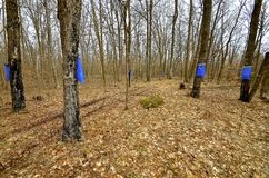Collecting maple sap in the spring. Blue bags hangs from maple trees as they collect sap in the spring Stock Images