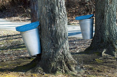 Collecting maple syrup. Covered tin buckets collect sap from maple trees in indiana usa to be boiled into delicious maple syrup Royalty Free Stock Image