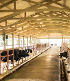 Collecting milk from daily cow in milk industry farm, Thailand Royalty Free Stock Photography