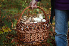 Collecting mushrooms Stock Photo