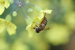 Collecting nectar of rape by bee. A bee is busy collecting Brassica nectar in the field of rape flower Stock Images
