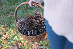 Collecting pine cones Stock Image